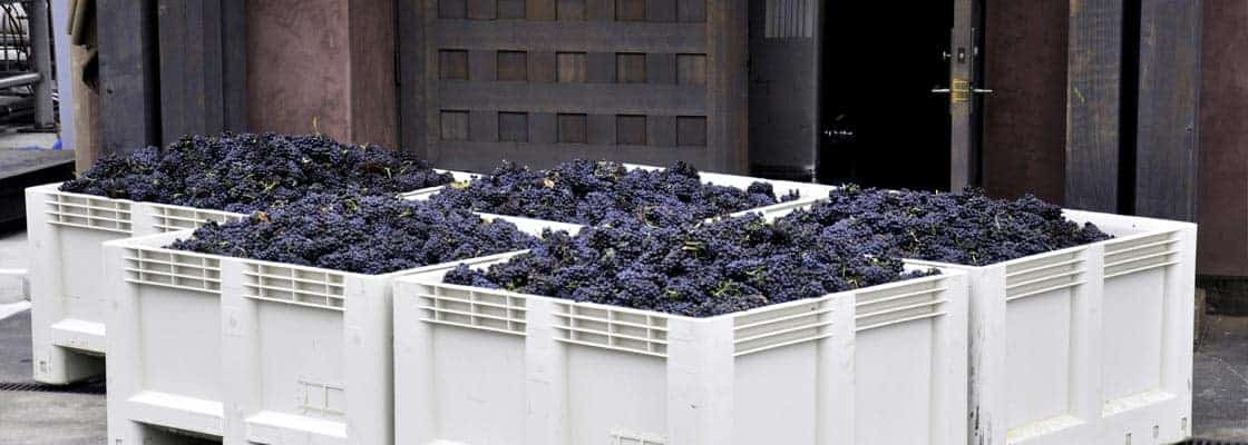 Grapes ready for processing on the crush pad