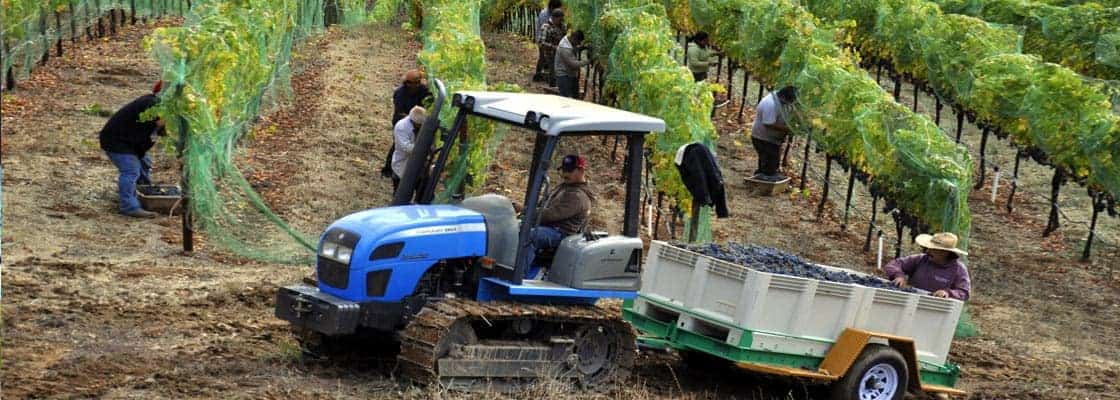 Harvested grapes are taken via small tractor to the winery