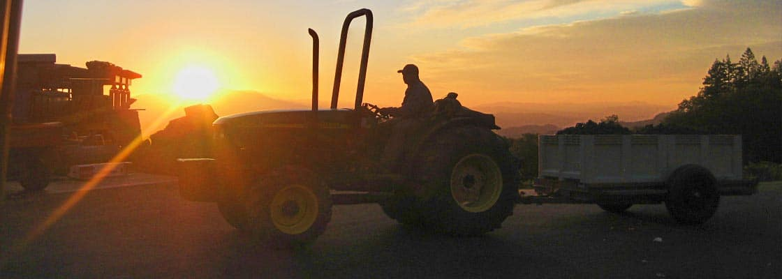 Early morning harvest at the estate