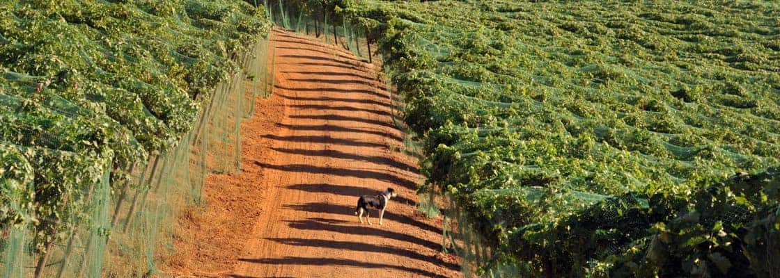 Rampage in our estate vineyard